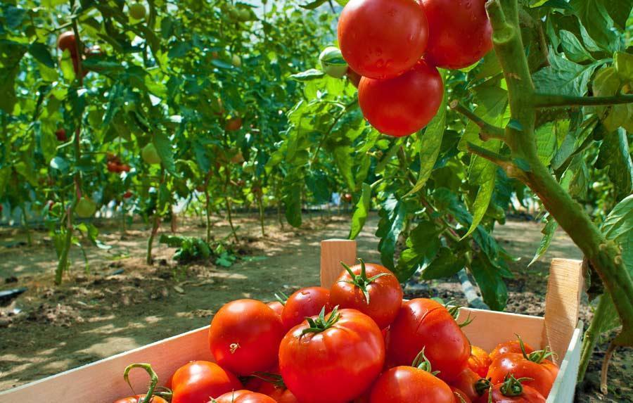 گیاهان با یکدیگر حرف می زنند ، از ریشه ها به گوجه فرنگی ها با نشر سیگنال های الکتریکی!