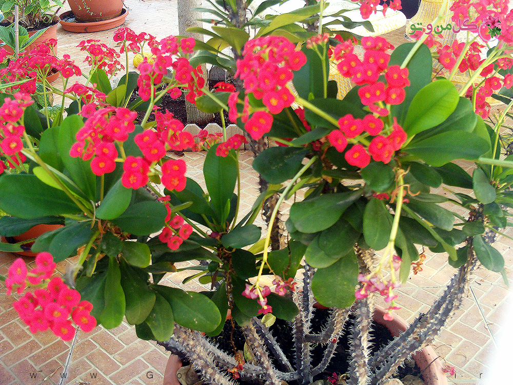 نگهداری گل مرجان در منزل
