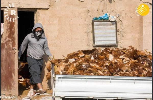 (تصاویر) شیوع گسترده آنفلونزای مرغی در سامراء