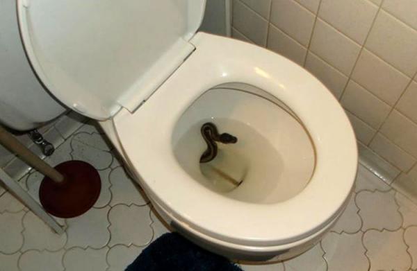 کمین مار کبری در کاسه توالت فرنگی