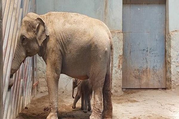 آخرین شرایط فیل متولد شده در باغ وحش ارم، صندلی فیل ها بزرگتر می گردد
